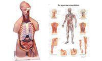 Anatomie et prévention