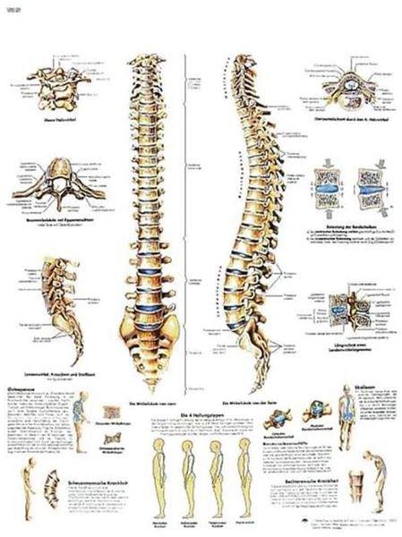 Planche anatomique - Colonne vertébrale