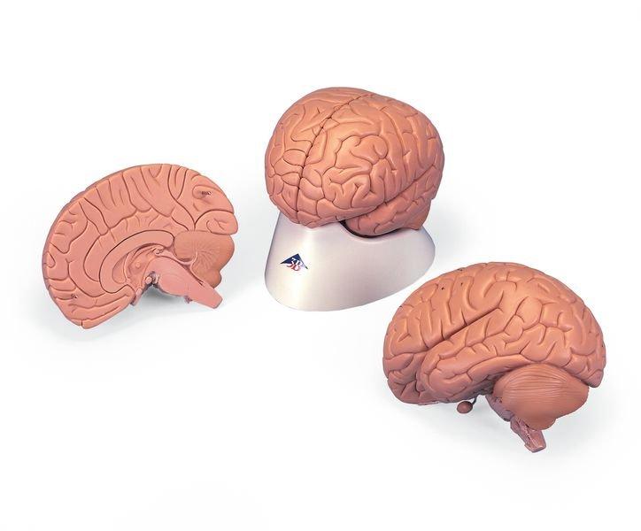 Modèle anatomique du cerveau