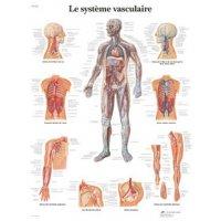 Planche anatomique - Système vasculaire