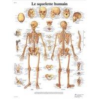 Planche anatomique - Squelette humain