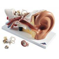 Maquette anatomique 3D de l'oreille humaine