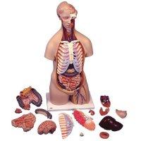 Modèle anatomique d'un torse asexué