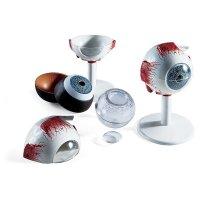 Œil pédagogique - maquette oculaire