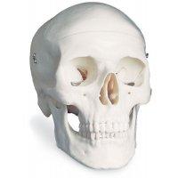 Modèle anatomique du crâne
