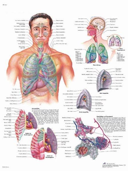 Planche anatomique - Système respiratoire