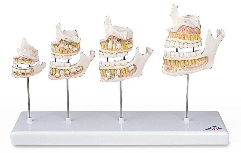 Maquette de développement de la dentition