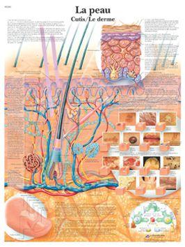 Planche anatomique - La peau