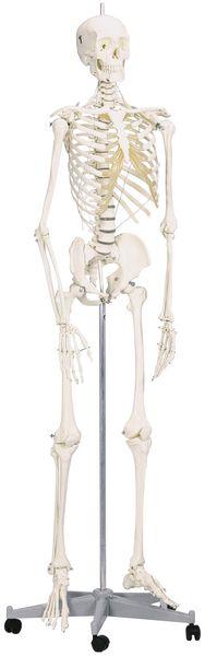 Squelette anatomique articulé de taille réelle