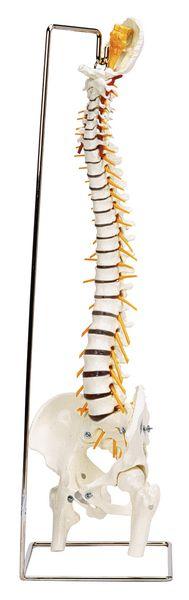 Modèle anatomique colonne vertébrale et bassin
