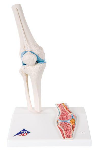Modèle anatomique de l'articulation du genou