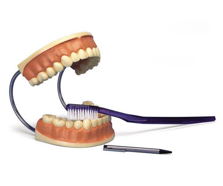 Modèle anatomique dentaire