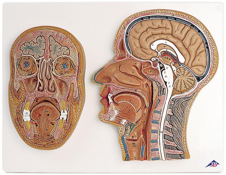 Coupes anatomiques de la tête